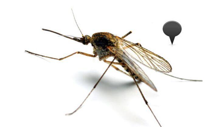 Anopheles-Mücke