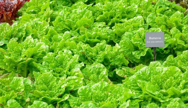 Salatsorten in der Übersicht: Bataviasalat