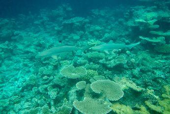 Zwischen den Korallen – ganz hinten im Bild – schwimmen 2 Riffhaie. Die habe ich beim Schnorcheln entdeckt
